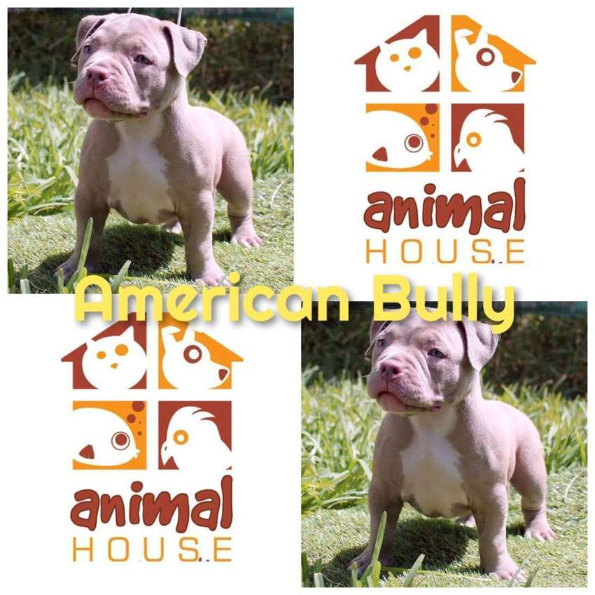 American Bully Referencia 34 0