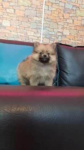 Ojitos Pomeranias lulu