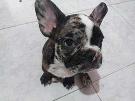 Bull dog frances black merle