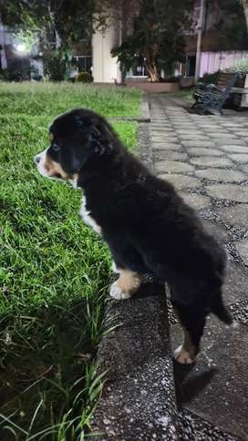 123 Bellísimoss BERNES de la montaña Contamos con los cachorros con la mejor característica para entrega machos y hembra