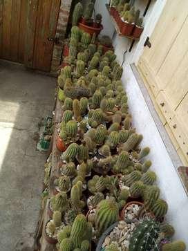 cactus lote 700 unidades aprox. en macetas, especies varias , tamaño chicos medianos y grandes.