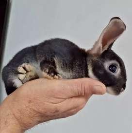 Gazapos/conejos de 1 mes