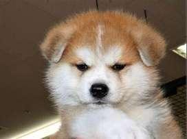 hermosa raza exotica akita japones hermosos de 51 dias de nacido