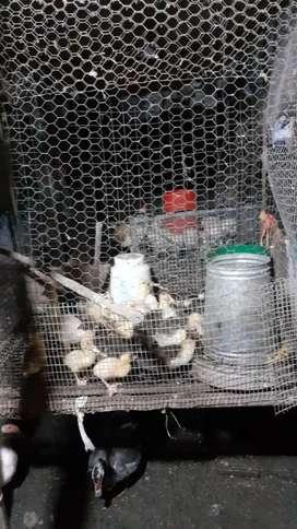 Se vende pollos criollos y patos