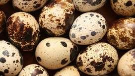 Huevos Codorniz Codornices Barato $45.000