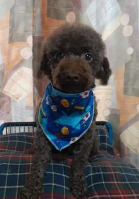 Macho  French poodle, toy chocolate para salto