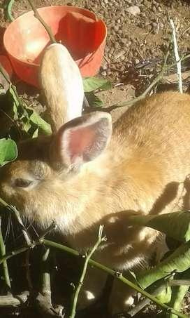 Conejo macho adulto