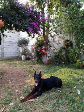 Vendo hermosos Doberman