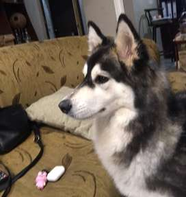 Se busca perro macho Husky Siberiano de raza para castizar a Husky Siberiana