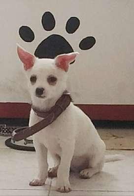 Hermoso cachorro  chihuhua a la venta