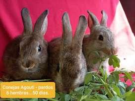 Conejos Pardos