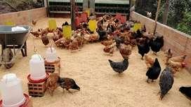 Lote de gallinas pollas criollas campesinas huevos azules