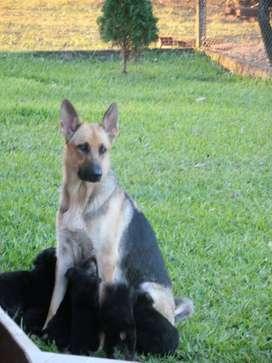 Cachorros Pastor Alemán (Ovejero Alemán; Manto Negro)
