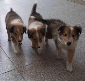 cachorros collie
