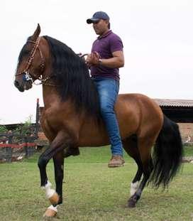 Vendo hermoso caballo de trocha colombiana