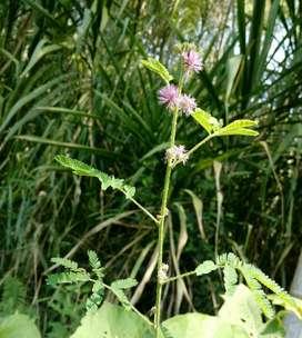 Plantulas de Mimosa Hostilis
