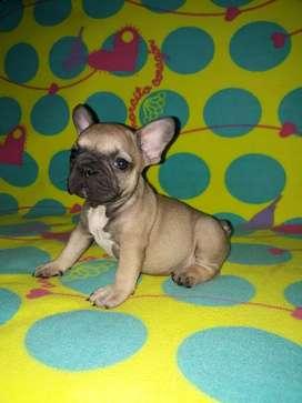 Hermosos bulldog francés machos y hembras disponibles