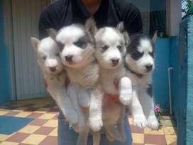 bellisimos lobos siberianos