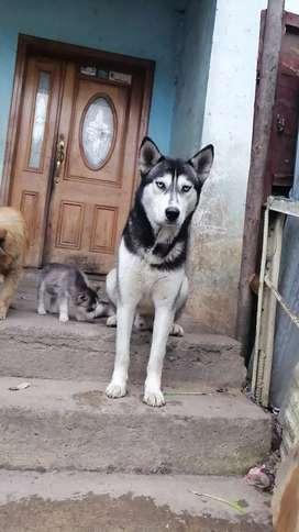 Cachorros siverianos