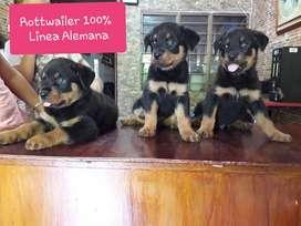 Cachorros de rottwailer en Arauca