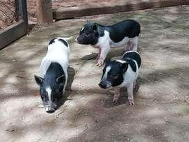 Mini Pig 100% Puros