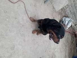 servicio de monta Rottweiler