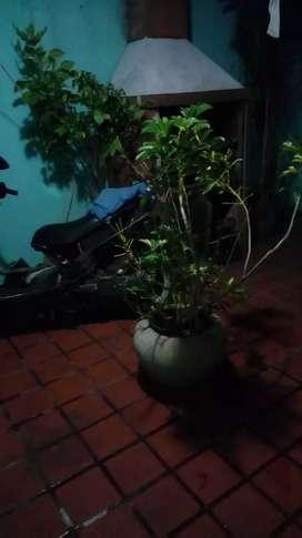 Vendo plantas grandes con maceta ficus y palmeritas de venezia