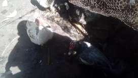 Patos criollos 700