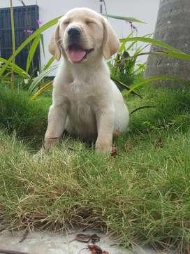 Adorado canino raza labrador