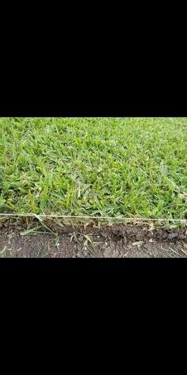Grass Gras Natural Americano Vivero