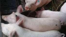 Cerdos vivos