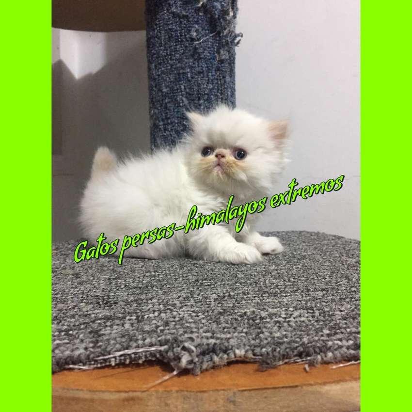 Gatos Persas - Exoticos - Himalayos 0