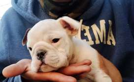 Oferto cachorro bulldog ingles  macho