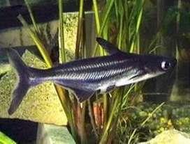 Pez Tiburón Pangasio