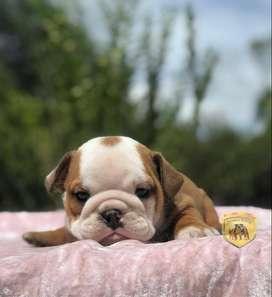 Hermosos y cariñosos cachorritos Bulldog ingles a la venta del Criadero Nutibara Bulldogs