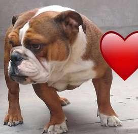 Bulldog ingles hembra vendo