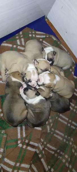 Hermosos bulldog ingles