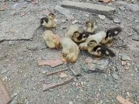 Vendo patos criollos