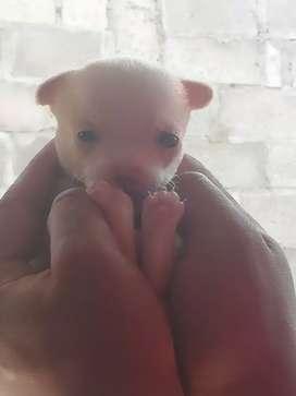 Cachorro Chihuahua cabeza d manzana