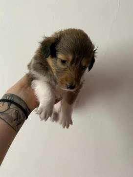 Cachorra pastor shetland disponible