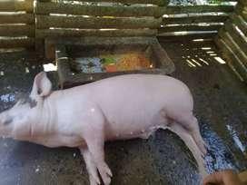 Cerdo Criollo , Puro Maiz