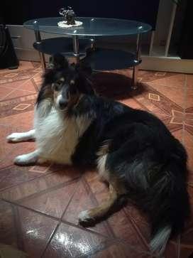 Collie rough lassie
