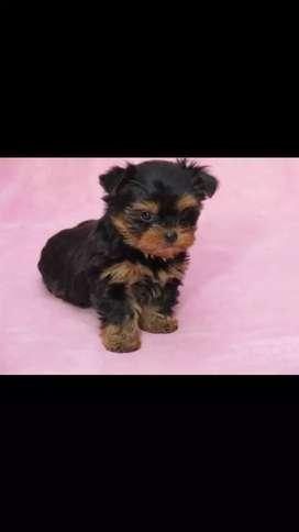 Cachorros Yorkshire terrier minis