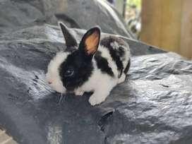 Conejos Antialergicos (rex)