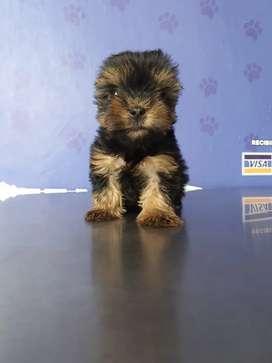 Yorkshire Terrier mini, mascoticas bucaramanga