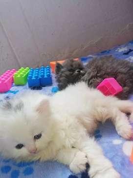 * gatito persa a la venta