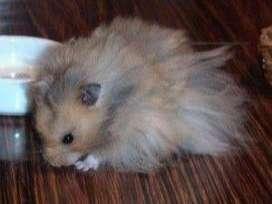 Hamsters machos y hembras sirios de 4 a 6 meses