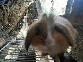 Conejo belier fuzzi adulto