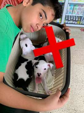 Pitbull american terrier hembra