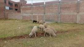 Carneros grandes en carne o parados para carnero al palo